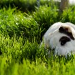 Dog laying in a grass — Stock Photo