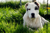 Dog laying down in grass — Stock Photo