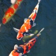 Koi fish — Stock Photo #9824800