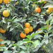 Foto Stock: Orange tree with fruits