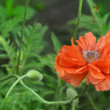 Stock Photo: Poppy