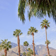 Fan Palms Trees Palm Springs California - Stock Photo