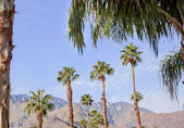 Fan Palms Trees Palm Springs California — Stock Photo