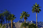 Fan Palms Trees Mountains Palm Springs California — Stock Photo
