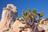 Rock Climb Yucca Brevifolia Mojave Desert Joshua Tree National — Stock Photo