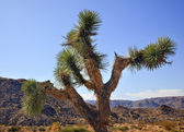 Yucca Brevifolia Mojave Desert Joshua Tree National Park Califo — Stock Photo