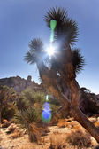 Yucca Brevifolia Sun Flare Mojave Desert Joshua Tree National P — Stock Photo