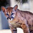 Young Mountain Lion Cougar Kitten Puma Concolor — Stock Photo #8124254
