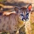 Stock Photo: Young Mountain Lion Cougar Kitten Puma Concolor