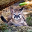 Stock Photo: Young Mountain Lion Cougar Kitten Hiding Puma Concolor