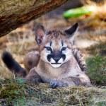 Young Mountain Lion Cougar Kitten Hiding Puma Concolor — Stock Photo