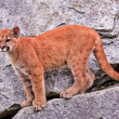 Young Mountain Lion Cougar Puma Concolor — Stock Photo #8124303