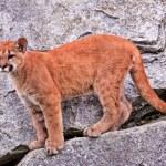 Young Mountain Lion Cougar Puma Concolor — Stock Photo