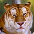 Stock Photo: Orange Black Bengal Tiger Looking