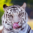 Royal White Bengal Tiger Licking Nose with Tongue — Stock Photo #8124320