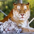 Stock Photo: Buddies Royal White Orange Black Bengal Tigers Resting Together
