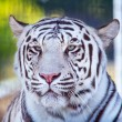 Stock Photo: Royal White Bengal Tiger Looking