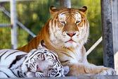 Kamarádi královské bílé oranžová černá bengálských tygrů odpočívá dohromady — Stock fotografie