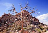 Dead Twisted Tree Hidden Valley Mojave Desert Joshua Tree Nation — Stock Photo