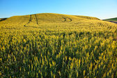 Grüner weizen gras muster blau himmel palouse us-bundesstaat washington — Stockfoto