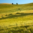 Green Wheat Grass Patterns Blue Skies Palouse Washington State — ストック写真