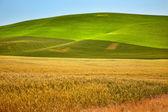 Ripe Yellow Green Wheat Fields Palouse Washington State — Stock Photo