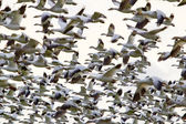 Traffic Jam Hundreds of Snow Geese Flying in a Group — Stock Photo