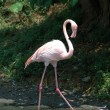 Greater flamingo — Stock Photo #8000552