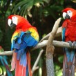 Scarlet Macaw — Stock Photo #8000560