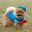Stock Photo: Pomeranian