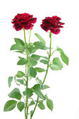 Mini red roses — Stock Photo