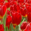 Stock Photo: Close up of red tulips