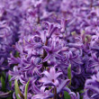 Purple hyacinth — Stock Photo