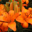 Orange lilies — Stock Photo