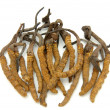 Cordyceps (a genus of ascomycete fungi) — Stock Photo