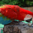Beautiful scarlet macaw — Stock Photo