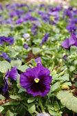 Purple viola flower — Stock Photo