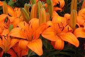 Pomarańczowy lilie — Zdjęcie stockowe