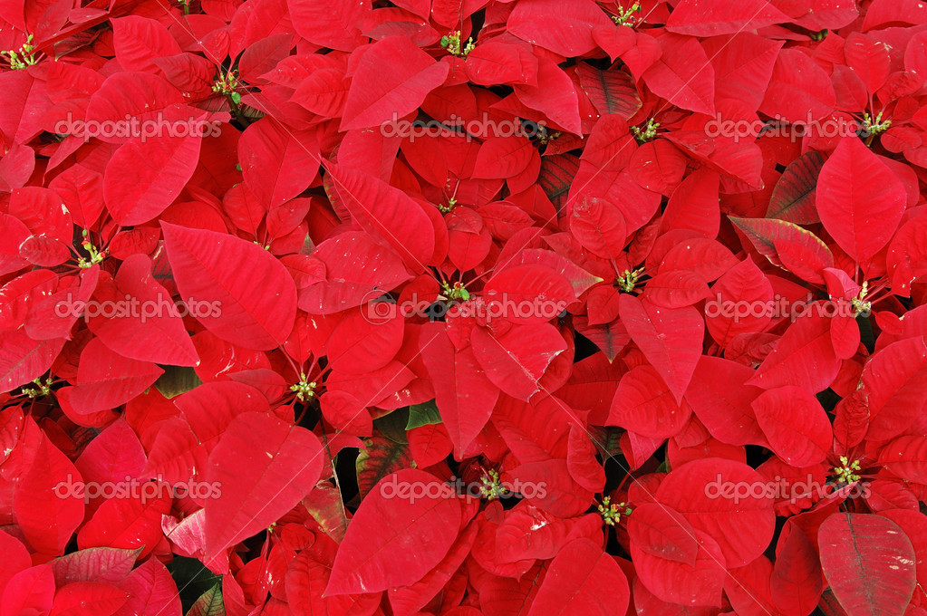 Background of red poinsettia plants — Stock Photo #8820506