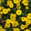 Yellow chrysanthemums - Stock Photo