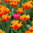 Stock Photo: Pink tulip in group