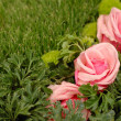 Pink roses in green grass - Stock Photo