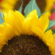 Sunflower closeup - Stock Photo