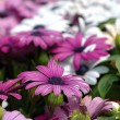 Purple daisies — Stock Photo