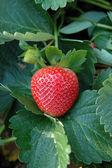 Perfect strawberry — Stock Photo
