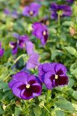 Voila fleurs pourpres — Photo
