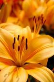 Orange lily flower — Stock Photo