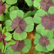 Stock Photo: Four leaf clover