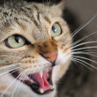 Angry hissing cat — Stock Photo