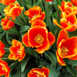 Fisheye view of orange tulips — Stock Photo
